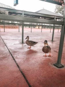 disney ducks